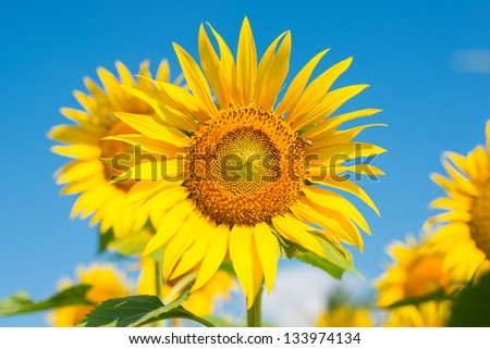 Sunflower in the blue sky, background