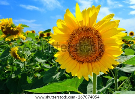 Sunflower in the field against the blue sky on a sunny day - stock photo