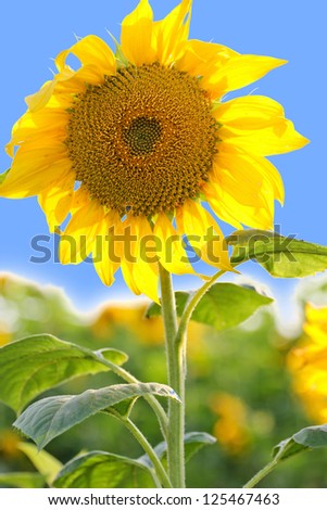 Sunflower in the field with blue sky, closeup