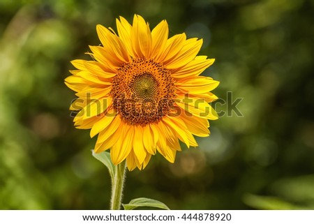 Sunflower in the garden - stock photo