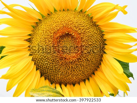 sunflower in the garden, on the nature, the sun and yellow