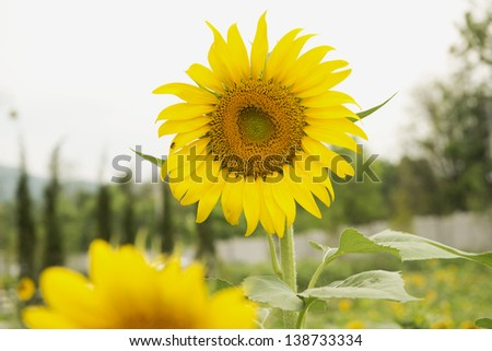 Sunflower in the mountain at Thailand