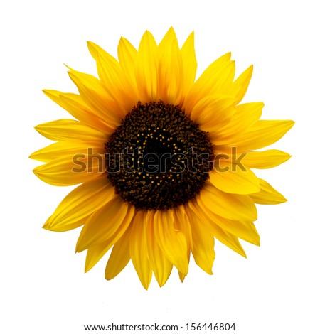 Sunflower Isolated - stock photo