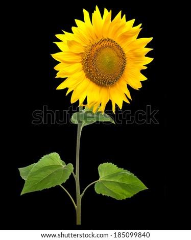 Sunflower isolated on black background. - stock photo