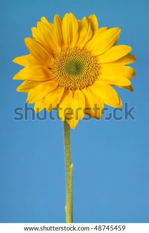 Sunflower isolated on blue
