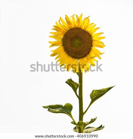 Sunflower isolated on white backdrop. - stock photo