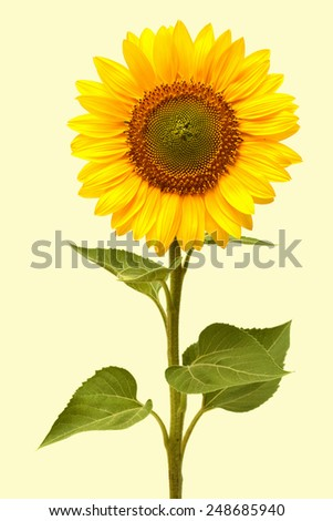 Sunflower isolated on white background - stock photo