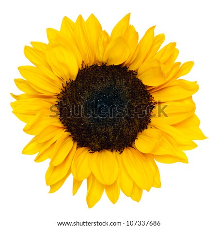 sunflower isolated on white background, clipping path