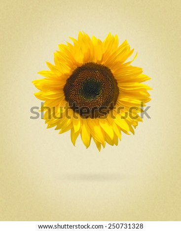 sunflower isolated on white background. picture in retro style - stock photo