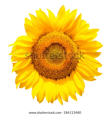 Sunflower isolated on white background,with clipping path