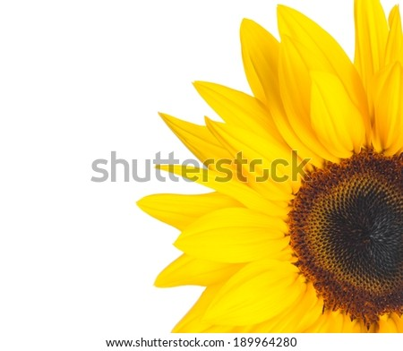 sunflower isolated on white background with space for text - stock photo