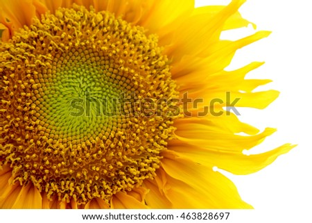 sunflower isolated with soft focus