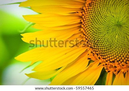 Sunflower Macro Close Up with Green and White Natural Soft Focus Background - stock photo