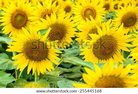 Sunflower natural background - stock photo