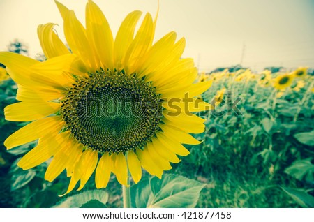 sunflower natural backgrounds