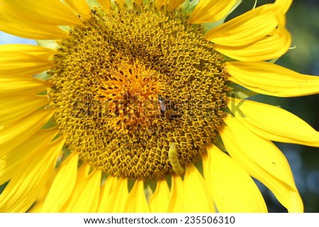sunflower nature flower yellow beautiful - stock photo