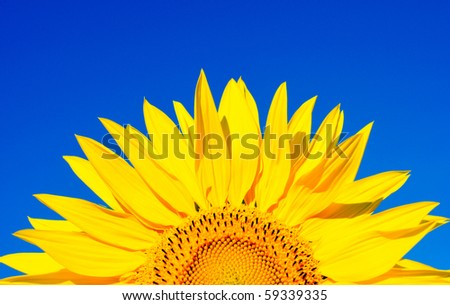 sunflower on a background of the dark blue sky - stock photo