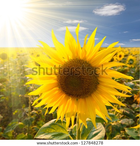 sunflower on a field in sunlight - stock photo