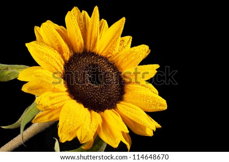 Sunflower on black background - stock photo