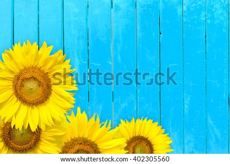 sunflower on blue old wood - stock photo