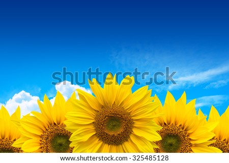 Sunflower on blue sky blackground.