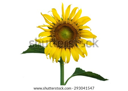 sunflower on isolate background
