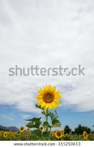 Sunflower on space and sky background.