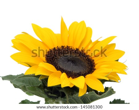 Sunflower on the white background - stock photo