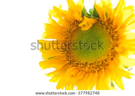 Sunflower on white background