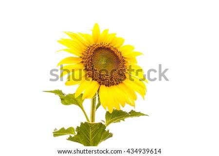 Sunflower on white background. - stock photo