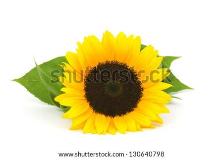 sunflower on white background (Helianthus) - stock photo