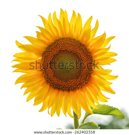 Sunflower on white sky background. - stock photo