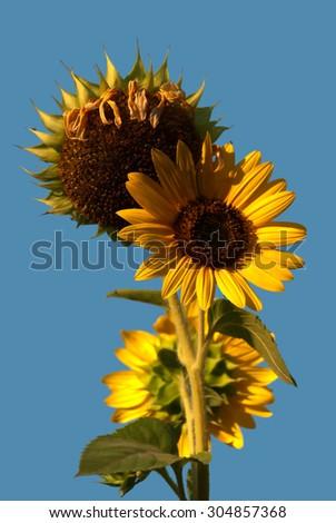 Sunflower  opposite blue sky as background - stock photo