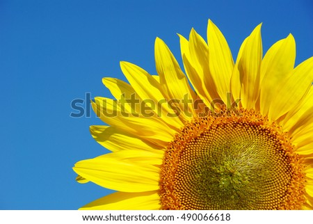 sunflower over cloudy blue sky