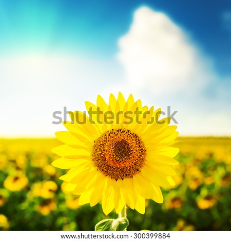 sunflower over field on sunset in blue sky - stock photo