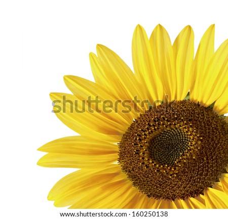 Sunflower over white - stock photo