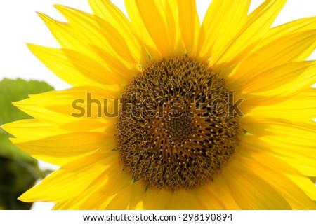 Sunflower petals over bright sunlight, close up - stock photo