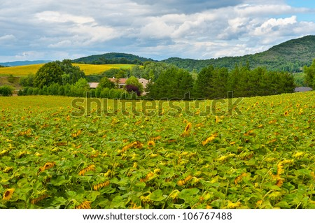 Sunflower Plantation in the French Alps - stock photo