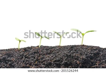 Sunflower planting - stock photo