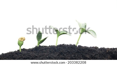 Sunflower planting
