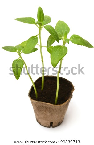 Sunflower seedling in pot isolated on white background