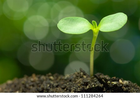 Sunflower sprout on green bokeh background.(horizontal) - stock photo