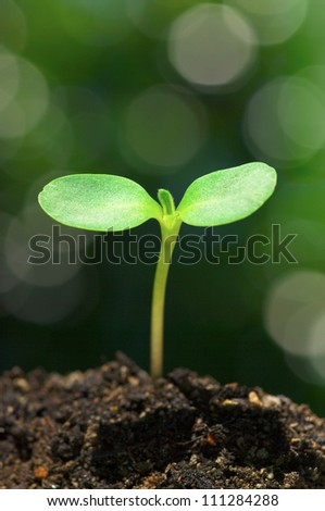 Sunflower sprout on green bokeh background.(vertical) - stock photo