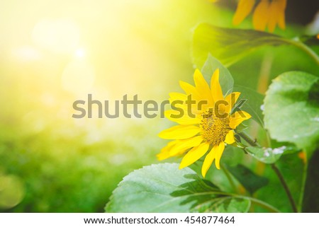 Sunflower summer background. Floral background with sunflower. Summer flowers - stock photo