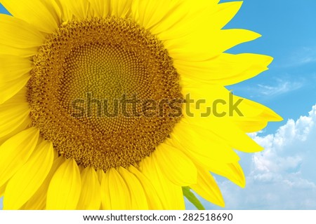 Sunflower, Sun, Single Flower. - stock photo