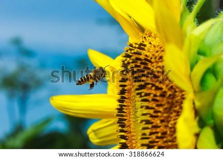 Sunflower, sunflower and bee, bee, macro flower - stock photo