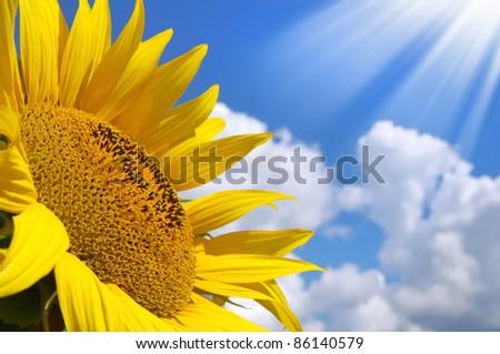 Sunflower. Sunflower over sunny sky background - stock photo