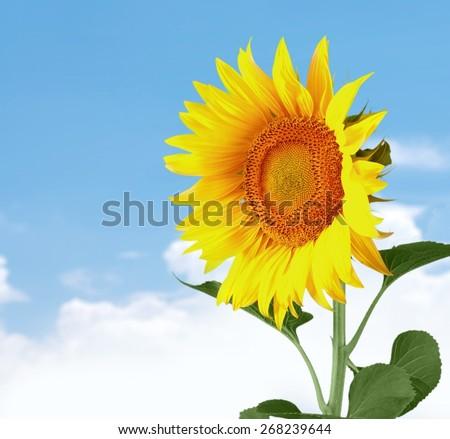 Sunflower. Sunflower with Path - stock photo