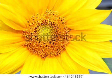 Sunflower, the epitome of summer