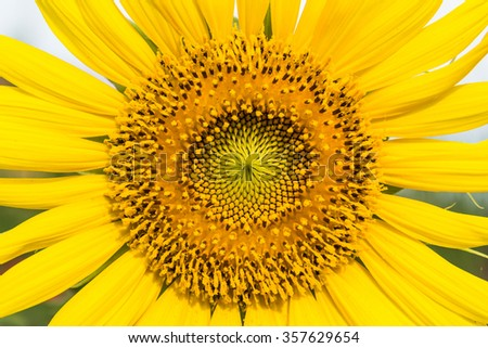 Sunflower. The pattern of pollen.